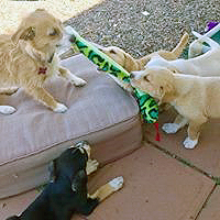 Puppy tug of war